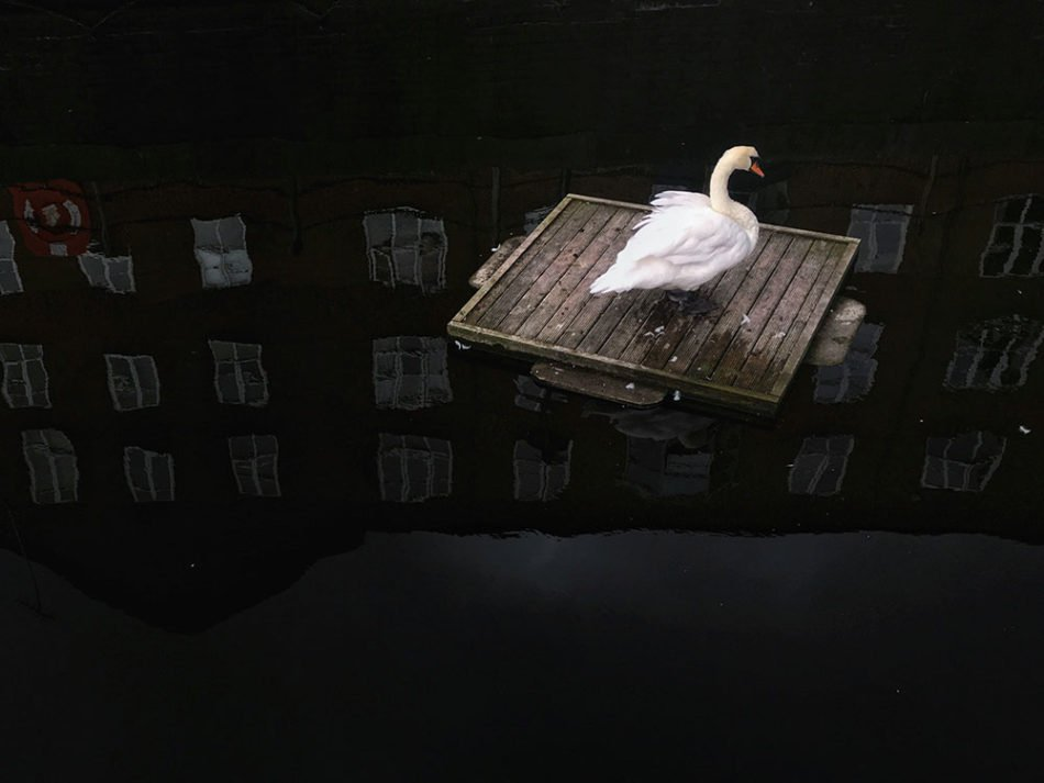the-swan-in-the-pond--2nd-place-animals